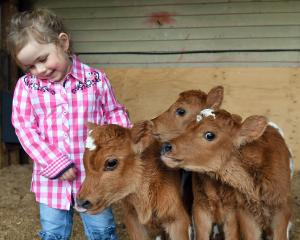 Lexi Harris (4) on the Taieri dairy farm with very rare triplet dairy calves. PHOTO: STEPHEN...