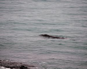 Whale close to rocks at Campbells