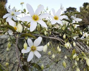 Clematis paniculata. Photo by Gerard O'Brien.