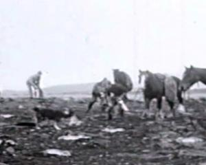 A team picking up their harvest of dead rabbits after a night's poisoning in the Mackenzie...