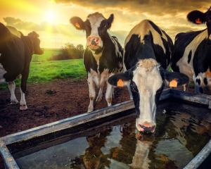 Fonterra will need to reassure its farmers where future dividend payments are headed. Photo:...