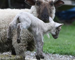 A newborn lamb near Mosgiel  enjoys the close attention of its mother last season. Photo: Gregor...