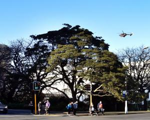 The silver beech outside Dunedin Hospital. Photo: Peter McIntosh