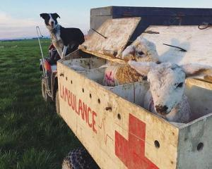 Wrey's Bush farmer Bradley Stewart uses his ''Lambulance'' as a way to transport animals around...