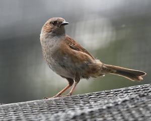 A sparrow at Dunedin Botanic Garden aviary on Tuesday morning. Photo: Gregor Richardson