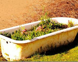 An old bathtub full of ice plants (I think) and put to good use at Taieri Mouth.