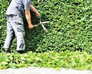 The first hedge cut of the year should be pretty severe. Photo: Getty Images