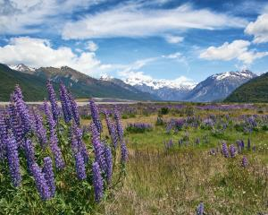 Lupins in the Waimakariri River Valley. Photo: Getty Images