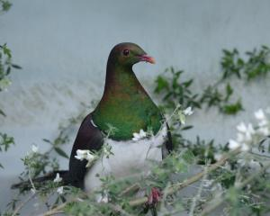 Kereru are expected to make up 70% to 80% of the up to 201 land birds that will need treatment at...