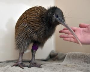 A Stewart Island kiwi recovers at the Wildlife Hospital in Dunedin yesterday. Photo: Gregor...