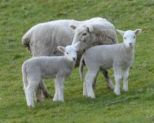Lamb prices are expected to remain healthy over the rest of the season.  Photo: Linda Robertson