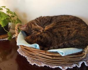 Mildred likes to sleep in the fruit bowl at her neighbours' house in Lower Portobello. Photo:...