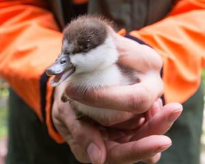 A photo of a different paradise duckling. Photo: Doc