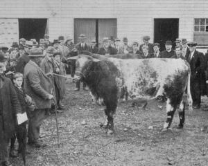 Members of the Farmers' Union and Gore High School boys at a demonstration on stud Shorthorn...