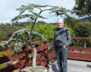 Brian Tidmarsh by the blue cedar that landed him in hospital. Photos: Gillian Vine