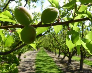 Apricots soaking up the sunshine in a Clyde orchard this week. October 16 2017. Photo: Lynda van Kempen