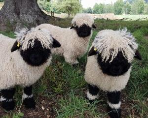 "The Swiss Valais Blacknose is known as the ""cutest sheep in the world'. Photo: Supplied via RNZ"