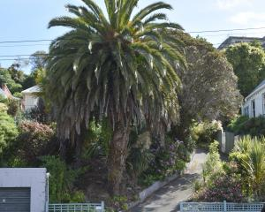 The massive Canary Island Date Palm in the front garden of 54 Forbury Rd, Dunedin, with its...