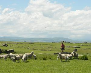 The lambing percentage on Otago farms declined this season. PHOTO: STEPHEN JAQUIERY