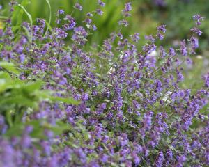 The darker blue flowering Nepeta racemosa 'Superba' at Dunedin Botanic Garden. Photo: Peter McIntosh