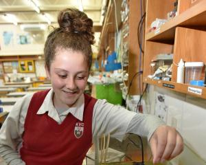 Kaikorai Valley College pupil Samantha Chisholm (14) feeds the rainbow trout in one of the school...