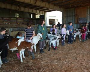 Children at the Youth Calf Handling line up their calves at the end of the day after learning not just how to lead them, but also about show ring etiquette.