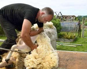 Aaron Robinson works from his mobile shearing trailer in Shiel Hill, in Dunedin. Photo: Stephen...
