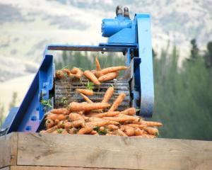 Pypers Produce Ltd has produced a good crop of carrots at its Ettrick trial site. Photo: Otago...