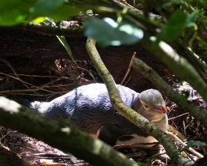 A hoiho (yellow-eyed penguin) nests at the Te Rere Reserve in the Catlins last month. Photo:...