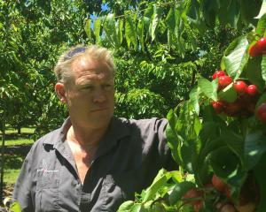 Fruit grower Mark Jackson tends to his crops. Photo: Adam Burns