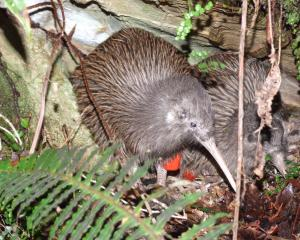 Rowi kiwi. Photo: DOC