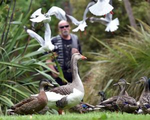 Ducks and other birds living in Dunedin's Woodhaugh Gardens are being killed by dogs, and...