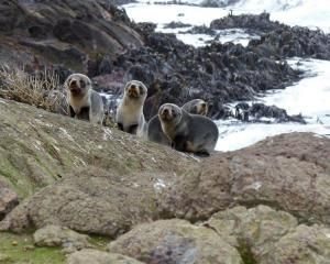 Emaciated fur seals on Green Island, off the coast of Brighton. Photo supplied