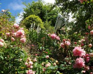 Roses thrive in the Thomas garden, on show on December 4. Photo supplied.