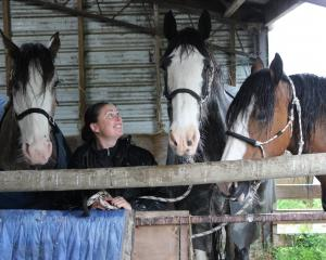 Rebecca Stewart gets her beloved Clydesdale horses out of the rain last week. Photo: Ella Stokes