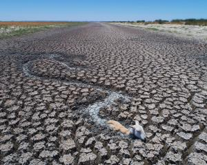 Dead and dying kangaroos, goats and sheep have become stuck in drying mud in the drainage canal...