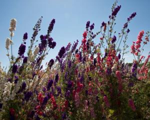 Delphiniums and other herbaceous perennials can be trimmed back. Photo: Getty Images