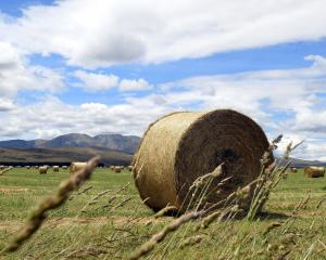 An unseasonably wet spring has led to tremendous crop growth throughout Otago. Photo: Stephen...