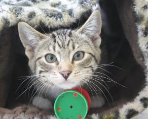 Invercargill SPCA has 111 kittens available for  adoption. Photo: Ben Waterworth
