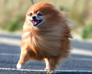 A Pomeranian battles the wind. PHOTO: STEPHEN JAQUIERY