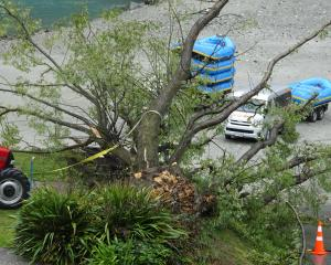 A large willow tree lies where it fell at the Shotover Jet base in Queenstown on Tuesday during...