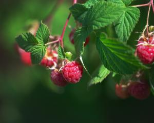 Close-up of ripe raspberries ready to be picked. Stock Image. Photo: Getty Images
