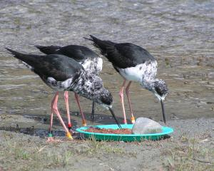 Black stilts tuck into a meat-based diet at the captive breeding programme in Twizel. Photo:...