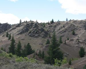Wilding pines near Alexandra. Photo: Supplied