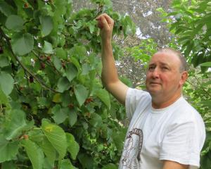 Moorpark and Mulberry Orchard owner Mike Darling picks mulberries from one of the four trees...