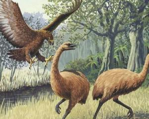 The extinction of the Haast's eagle has been tied to that of the moa. Image via NZ Herald