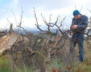 Quartz Reef co-owner Rudi Bauer prunes a vine, believed to have been planted in the late 1880s by...