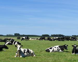Meanwhile, cows sun themselves in a Southland paddock. Photo: Gregor Richardson