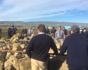 Buyers inspect lambs at the Maniototo last muster lamb sale held last week. Photo: Supplied