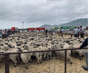 Buyers paid high prices at the Omarama lamb sale last week. Photo: Mike King/Omarama Gazette